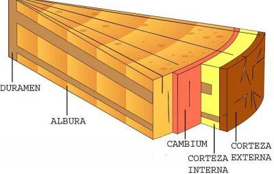 Estructura físicas de los árboles de madera dura